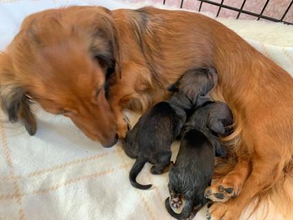 カニンヘンダックスフンド トワの子犬