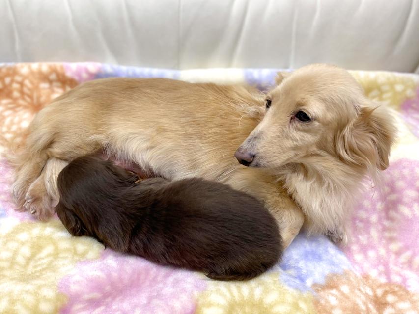 カニンヘンダックスフンド プリマ 11月28日 子犬の出産