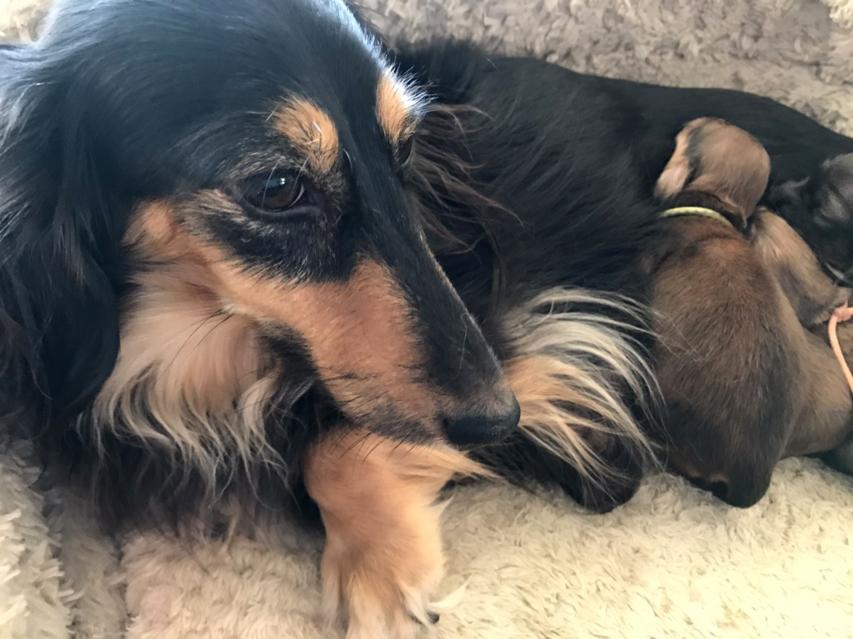 カニンヘンダックスフンド さくらhp 2月11日 子犬の出産