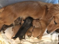 オリーブkk 3月7日 子犬の出産