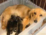 こなゆき 3月18日 子犬の出産