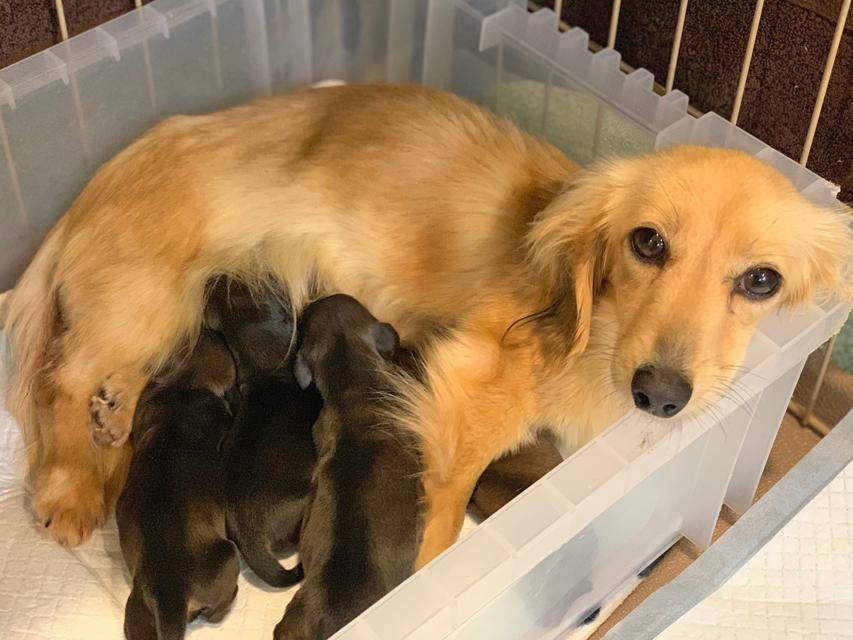 カニンヘン ダックスフンド こなゆき 3月18日 子犬の出産