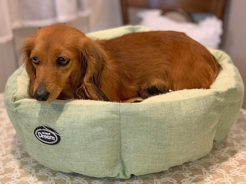 カニンヘン ダックスフンド チャバ 3月18日 子犬の出産