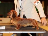 【ドッグショー】神奈川北ダックスフンドクラブ展 Sakura オーバースペシャル JKCチャンピオン完成
