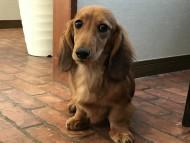 サリーアン & フレディの子犬 レッド 男の子(1)