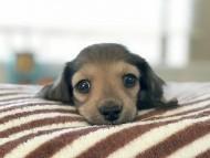 シャーロット & ジムダンディの子犬 レディッシュイエロー 女の子(2) お写真初登場