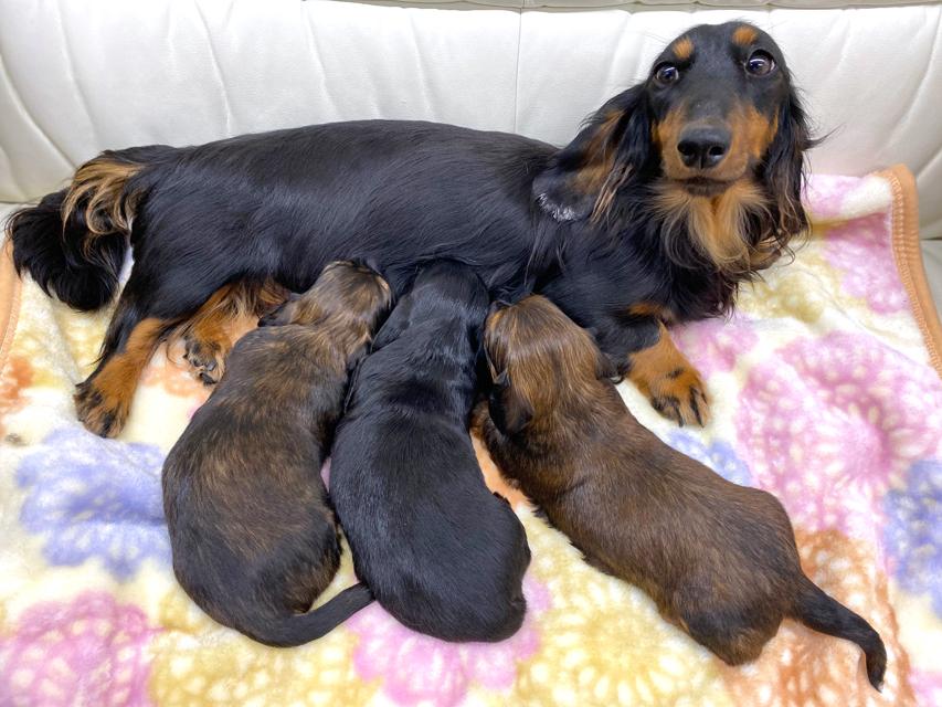 ミニチュアダックスフンド ジャジー 12月4日 子犬の出産