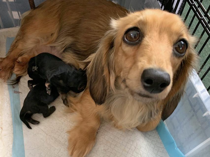 カニンヘンダックスフンド KT 1月15日 子犬の出産