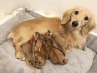 ハニーkk 1月24日 子犬の出産