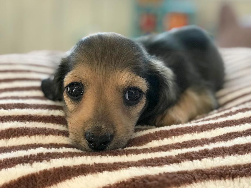 dachshund02