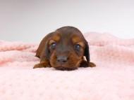 サリーアン & ジムの子犬 レッド 男の子(1) お写真初登場
