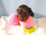 トア & プープーの子犬 レッド 女の子(1)