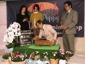 Sakura JKCチャンピオン ミニチュア ダックスフンド ロングヘアード レッド
