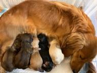 キュア 12月29日 子犬の出産