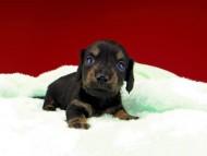 ジャム & ブルースの子犬 ブラックイエロー(ブラッククリーム) 男の子(2)