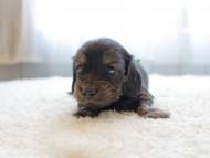 ひなプリhp & オスカルの子犬 イエロー(クリーム) 男の子