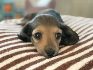 dachshund03