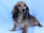 スターmh 4月19日出産の子犬