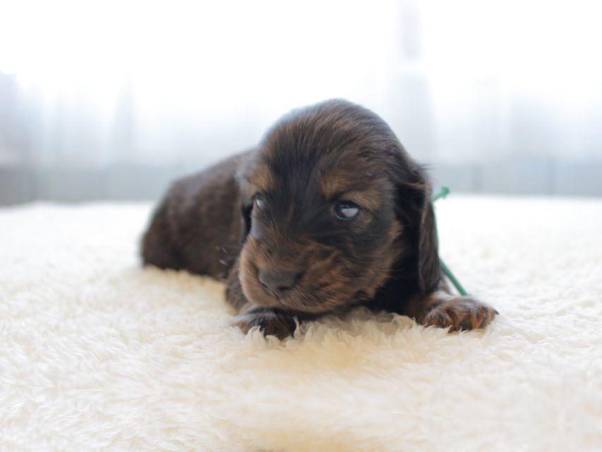 カニンヘンダックスフンド ひなプリhp & オスカルの子犬 イエロー(クリーム) 男の子