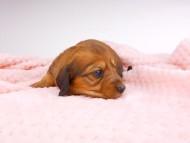 サリーアン & ジムの子犬 レッド 男の子(2) お写真初登場