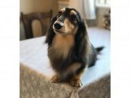 dachshund04