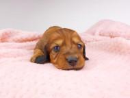 dachshund043