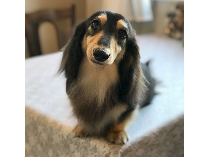 dachshund05