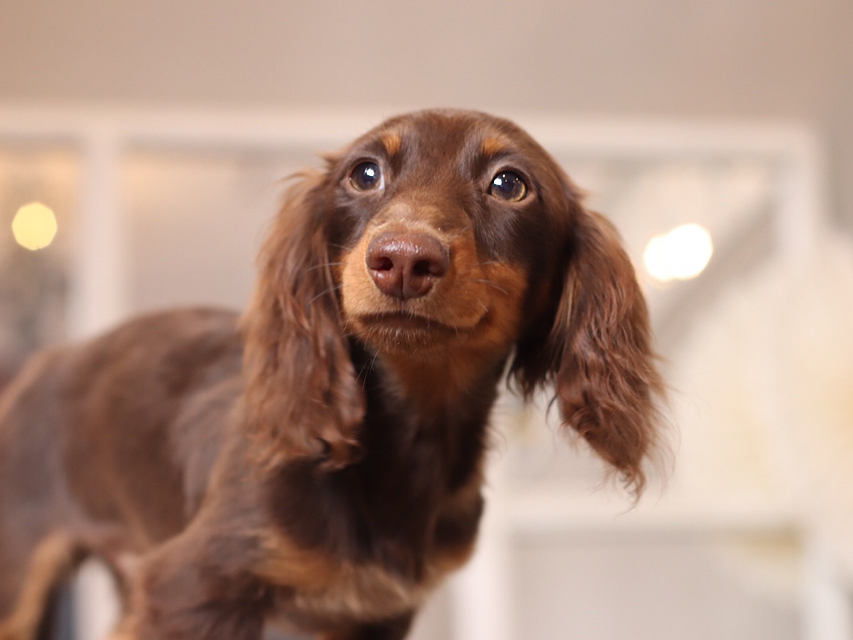 カニンヘンダックスフンド ベベ & ジャックの子犬 チョコタン 男の子(1)