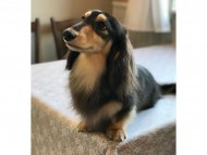 dachshund07
