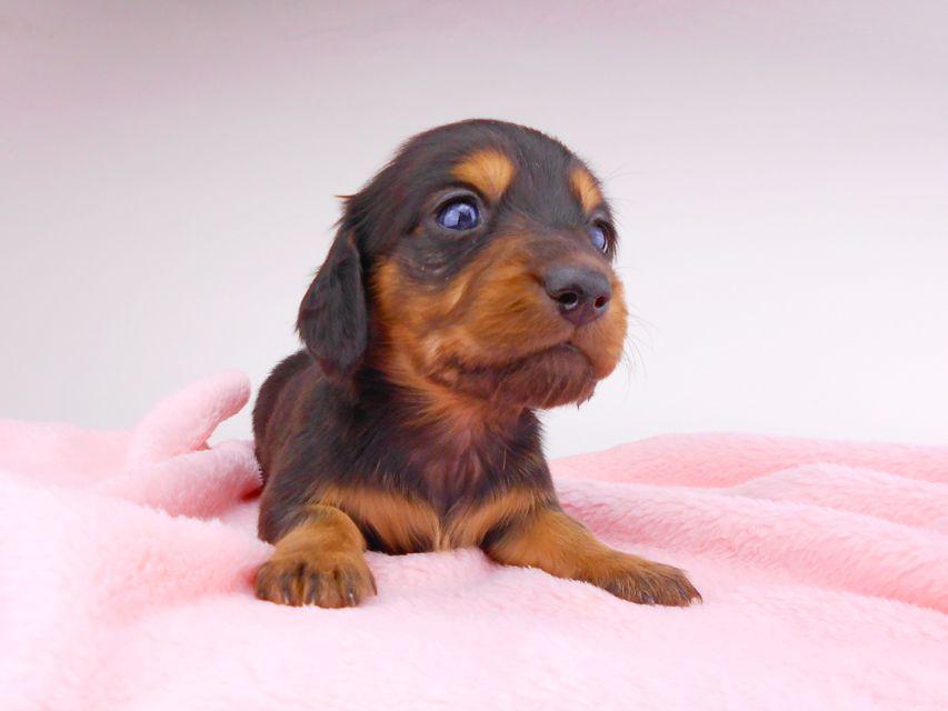 ミニチュアダックスフンド サリーアン & ジムの子犬 ブラタン 男の子