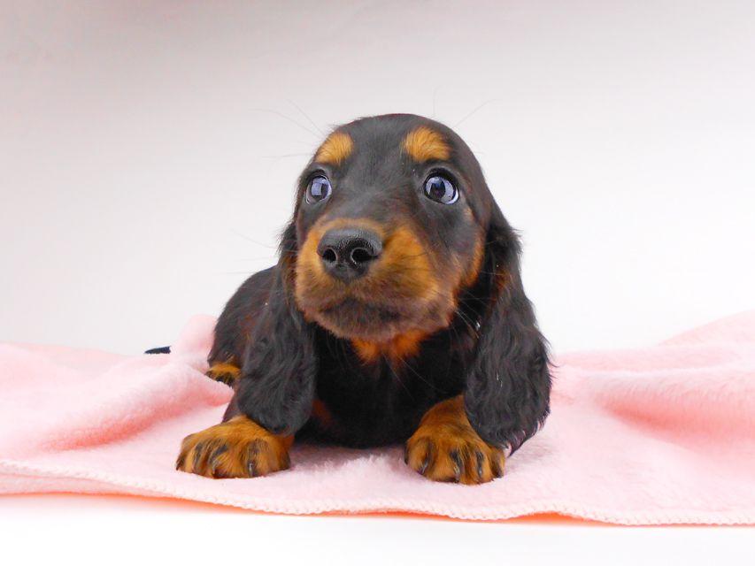 ミニチュアダックスフンド ジャジー & ジムの子犬 ブラタン 女の子