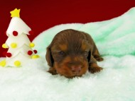 プリマ & ブルースの子犬 チョコタン 男の子