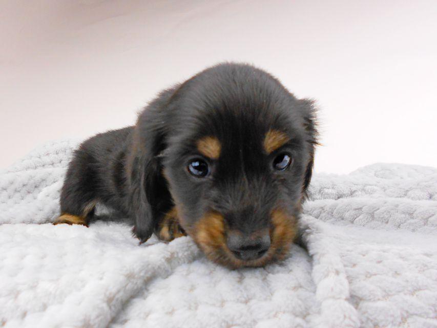 カニンヘンダックスフンド ひなプリhp & オスカルの子犬 ブラックイエロー(ブラッククリーム) 男の子