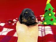 ジルcs & ブルースの子犬 ブラックタン 女の子