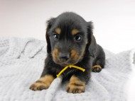 dachshund122