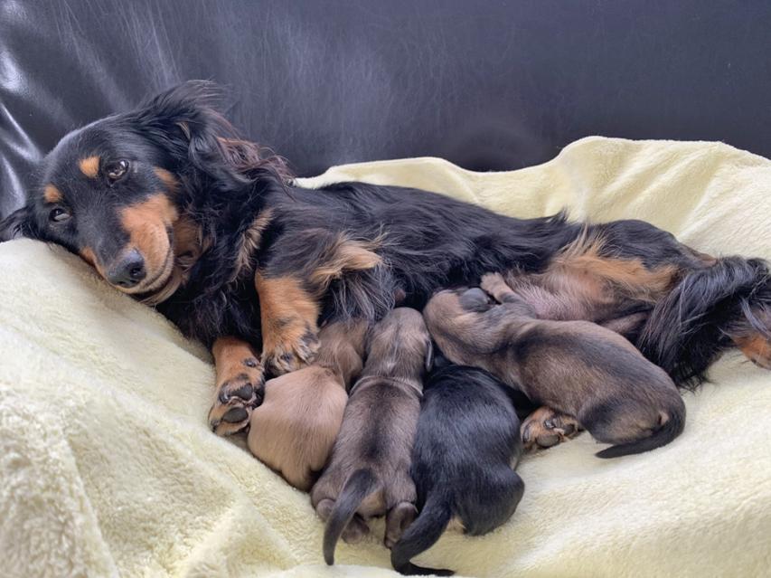 カニンヘンダックスフンド レイcs 2月5日 子犬の出産