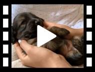 ララ & 竹千代の子犬 イエロー(クリーム) 男の子(3)
