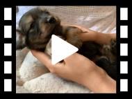 ララ & 竹千代の子犬 イエロー(クリーム) 男の子(2)