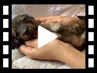 ララ & 竹千代の子犬 イエロー(クリーム) 男の子(1)
