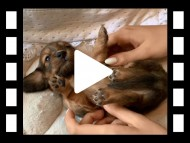 ララ & 竹千代の子犬 レッド 男の子(3)