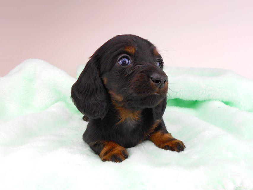 ミニチュアダックスフンド ジャジー & ジムの子犬 ブラタン 男の子