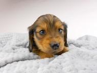 ひなプリhp & オスカルの子犬 イエロー(クリーム) 女の子
