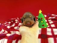 ジルcs & ブルースの子犬 チョコタン 女の子