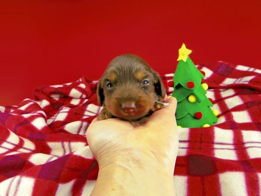 dachshund147