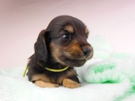 dachshund149