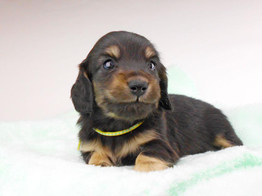 dachshund152