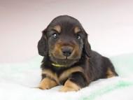 dachshund154