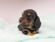 dachshund158