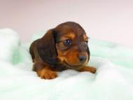 ジャジー & ジムの子犬 レッド 男の子(2)