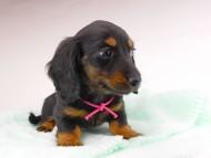 コトhp & ブルースの子犬 ブラタン 女の子